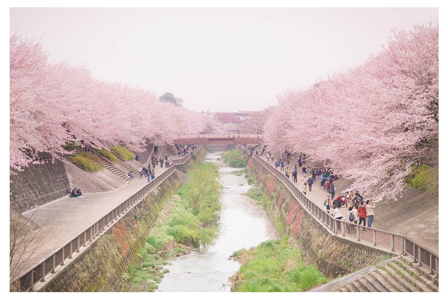 やっと春になったので、近所の石神井川へ行ってきました。