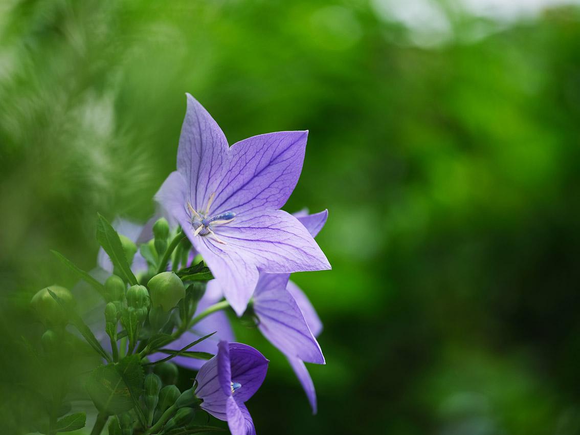 ↑は近所の花をGFX50Sで撮ったものです。